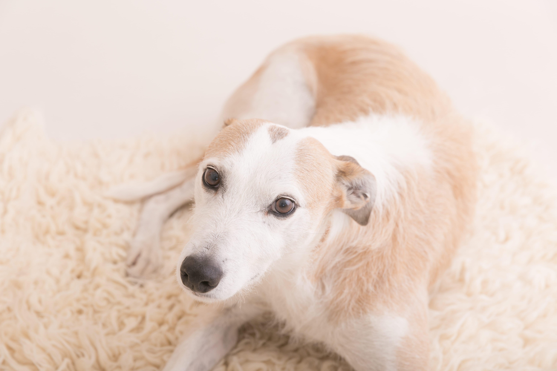 photo of Lurcher dog