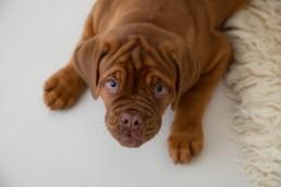 puppy mastiff