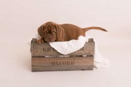 photo of mastiff puppy