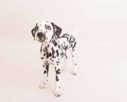 dalmation puppy portrait